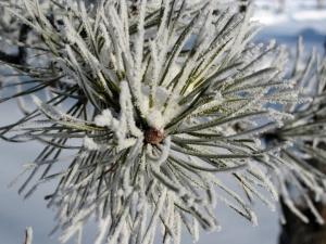 Aiguilles de pin givrées