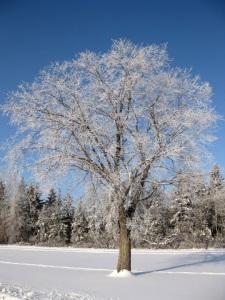 L'arbre gelé