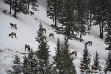 Caribous en train de brouter en pente