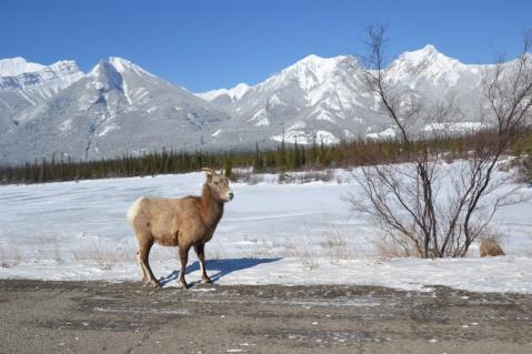 Mouflon Canadien