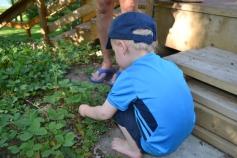 Nathan cueille des fraises