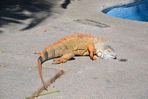 un des nombreux iguanes vus durant la semaine