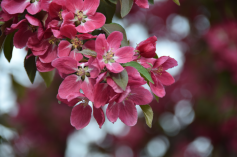 Bourgeons en fleurs